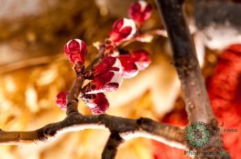 Abricot Blossoms