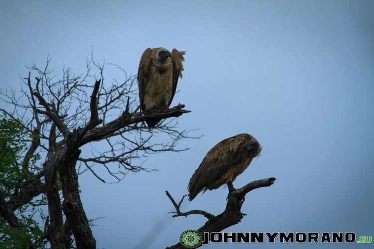 johnny_morano_krugerpark_2013-011