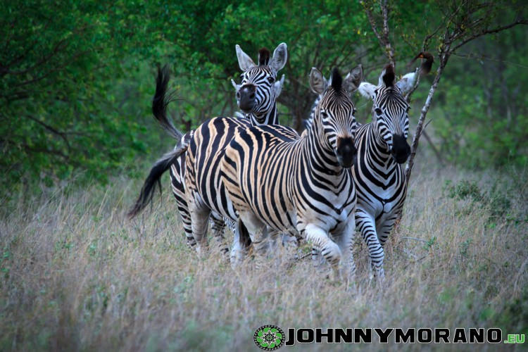 johnny_morano_krugerpark_2013-013