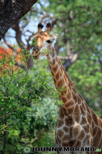 johnny_morano_krugerpark_2013-029